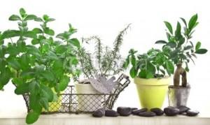 herbes-aromatiques-300x179